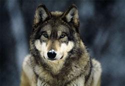 Encarando a vida como um lobo