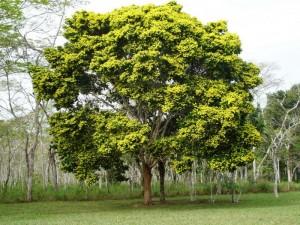 O pau-brasil - Uma bela árvore