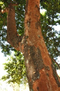 O tronco do pau-brasil